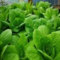 Salat der Extraklasse