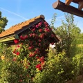 rosenstrauch